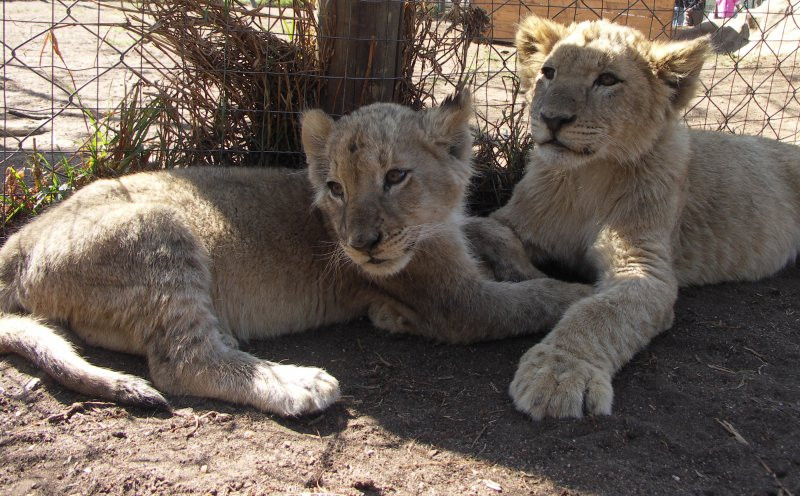 Lion cubs in canned hunting facility, South Africa