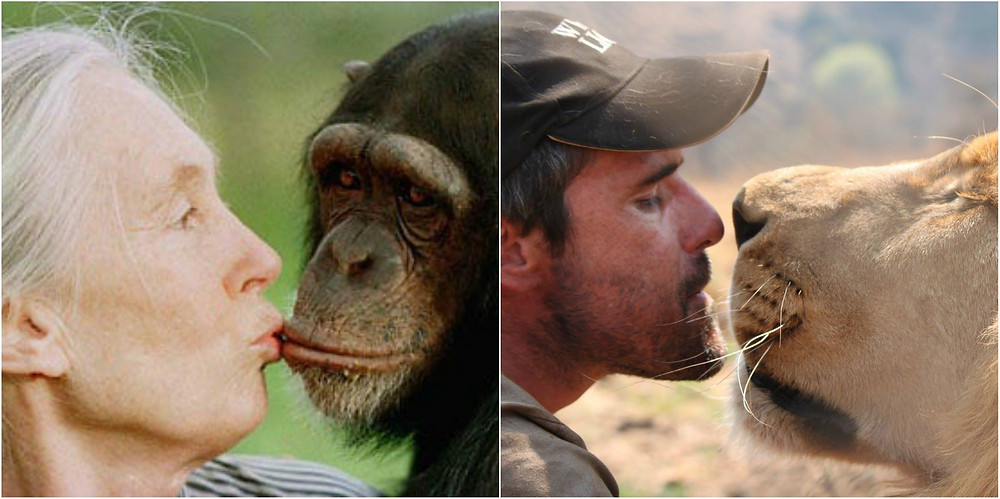 Kevin Richardson with lion & Jane Goodall with chimp