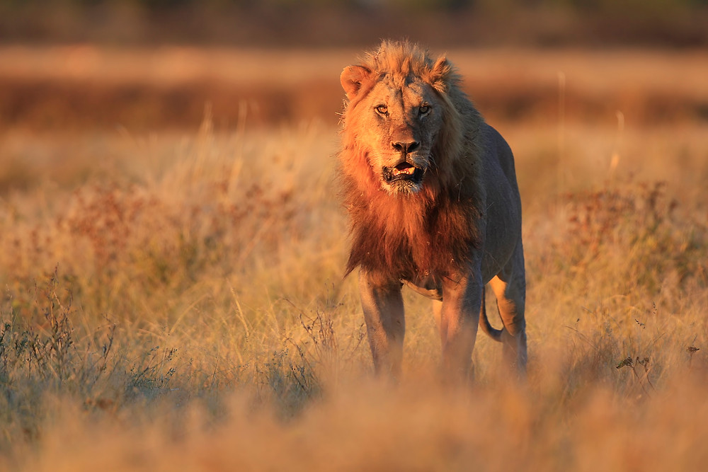 African lion in sunset