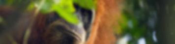 Palm oil orangutan