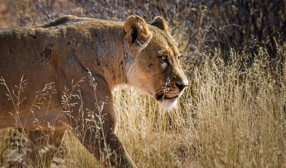 Lioness in Kgalagadi Transfrontier Park