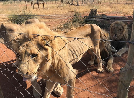 (Ep. 2/4) It's in the Can - Everything you need to know about Canned Hunting with the 'Lion