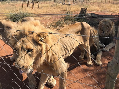 (Ep. 2/4) It's in the Can — Everything you need to know about Canned Hunting with the 'Lion Whisper'