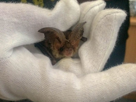Brown Long-Eared Bat taken by Martin Roc