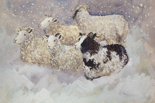 Jacob Sheep 3