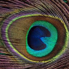 peacock-feather-186339__340.jpg