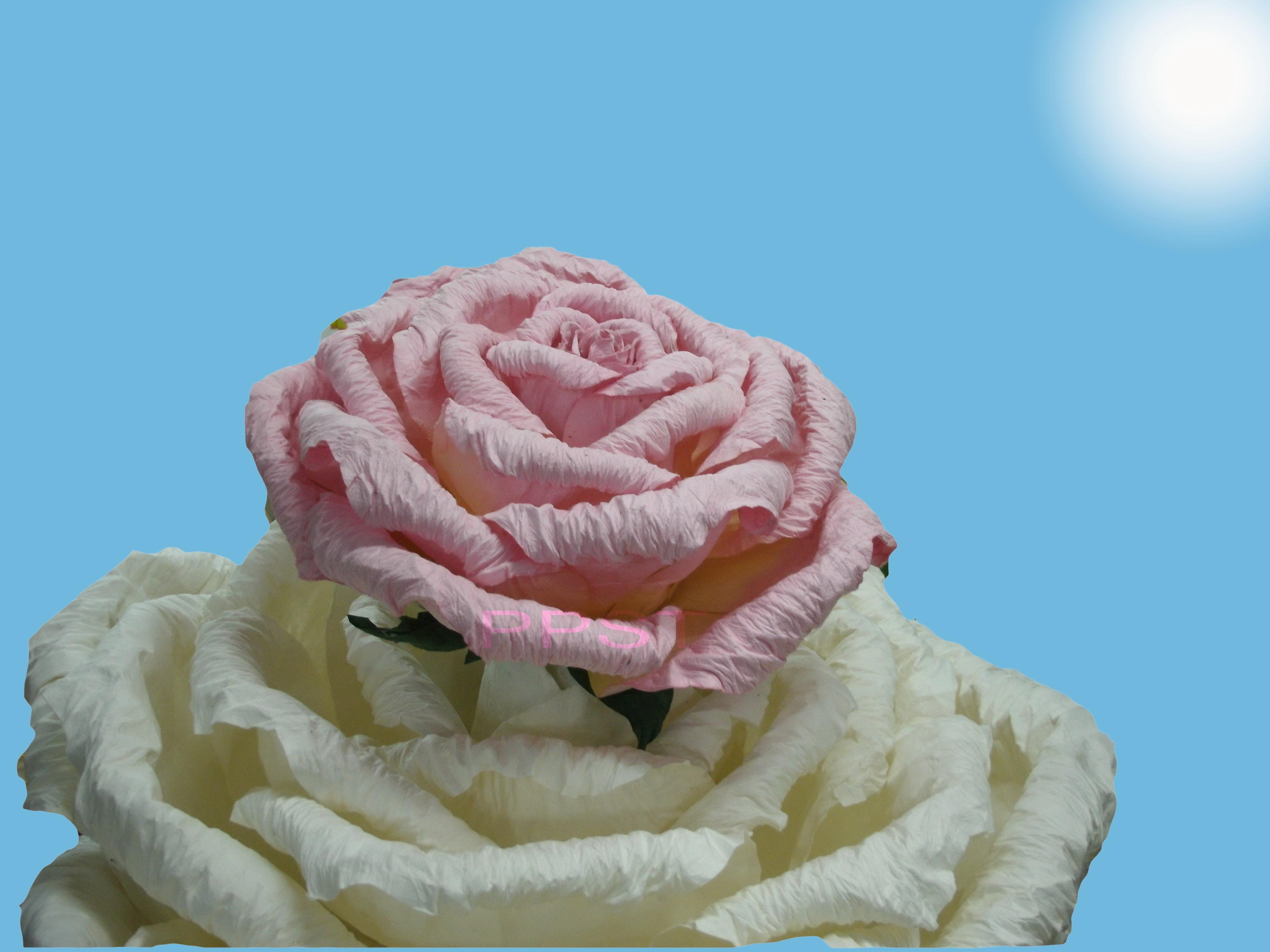 white-pinkrose-32