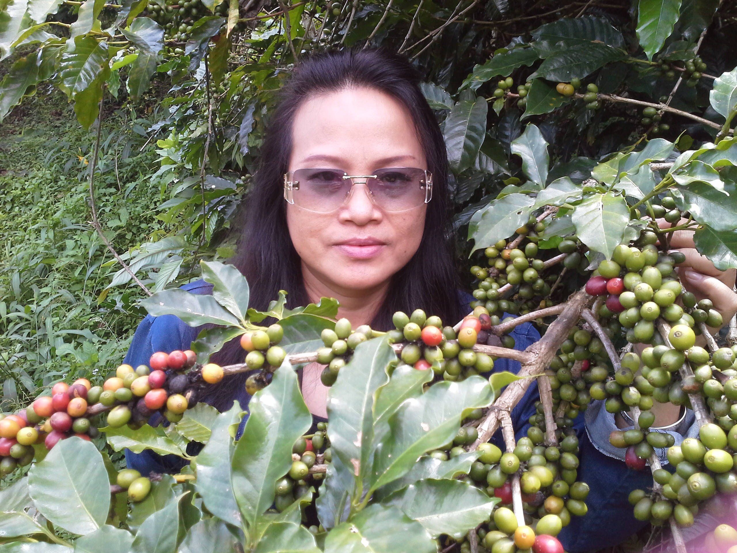 Arabica coffee plantation