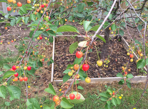 Garden Club – Cherry Harvest