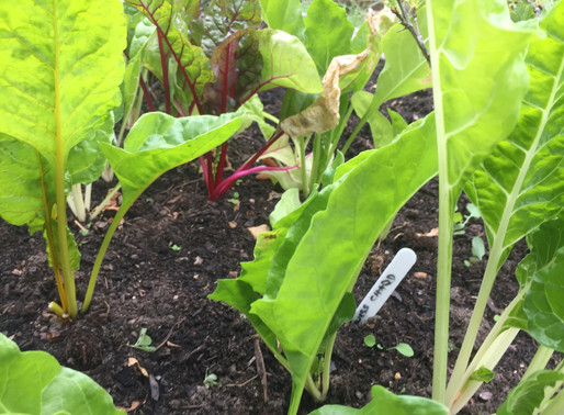 Homeschool Garden Club - Swiss Chard