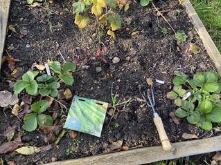 Homeschool Garden Club – Broad Beans