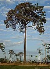 castanheiarvore.png