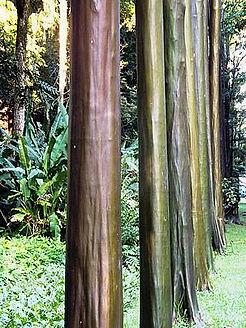 Calycophyllum_spruceanum.jpg