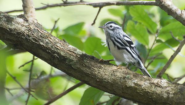 wood warbler by vladeb.jpg