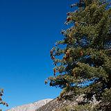 sugar pine-3.jpg