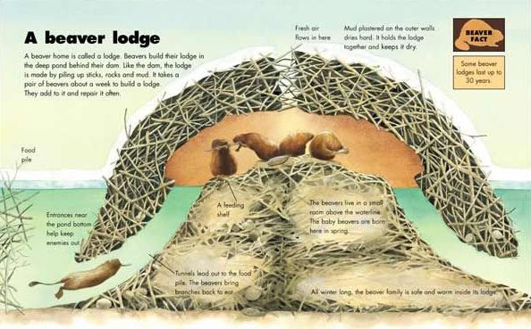 A Beaver Lodge.jpg