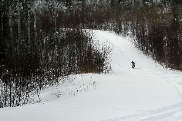 timber wolf track.jpg