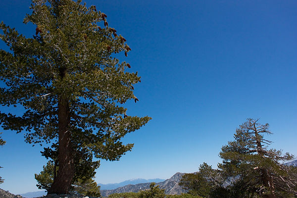 sugar pine-2.jpg