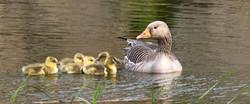 Greenwood Loch - Family of Ducks