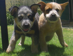 chrimbo and dogs 005.JPG