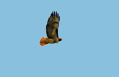 Red-tailed-hawk.jpg