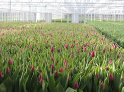 Agrozone tulpen