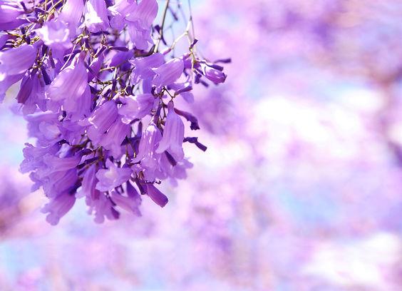 jacaranda flowers-K(1).jpg
