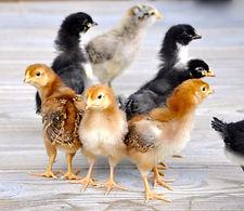 Poussin, poulet, poule pondeuse