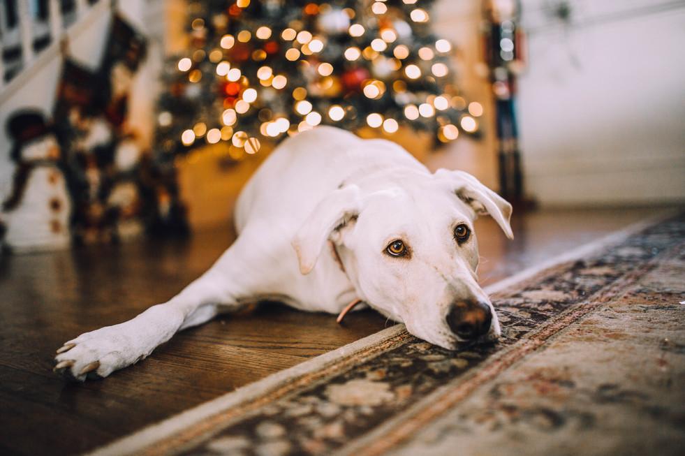 Lifestyle photo of a labrador dog during christmas