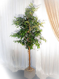 Ficus tree for wedding backdrop stand