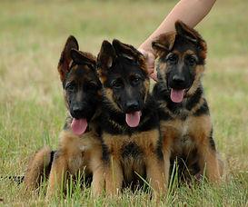 Трио щенков