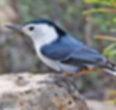 White-Breasted_Nuthatch1.jpg
