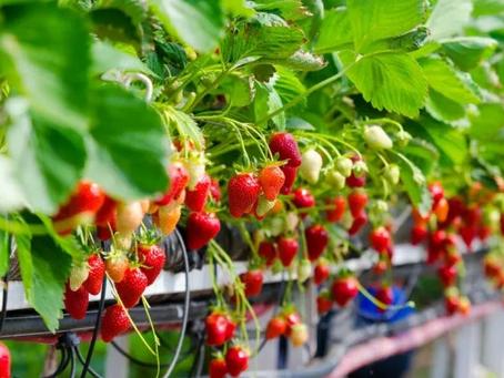 Seguros agrícolas para frutas serão avaliados pelo Mapa