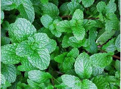 Growing Pudina(Mint) at Home
