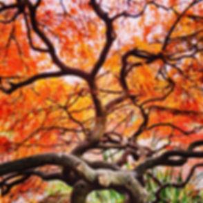 japanese-maple-tree_t20_Jvzwp9.jpg