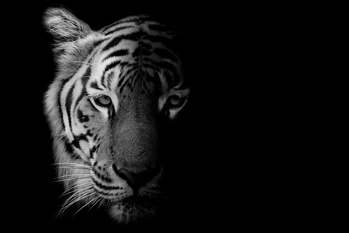 Black & White Beautiful tiger - isolated