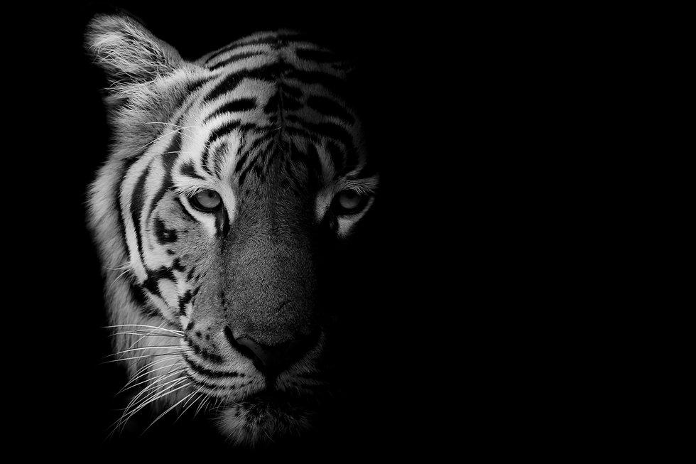 Black & White Beautiful tiger - isolated on black background.jpg