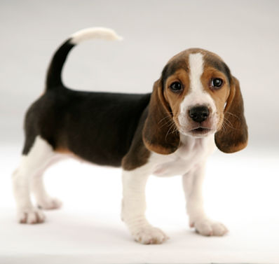Beagle Puppy ready for bath