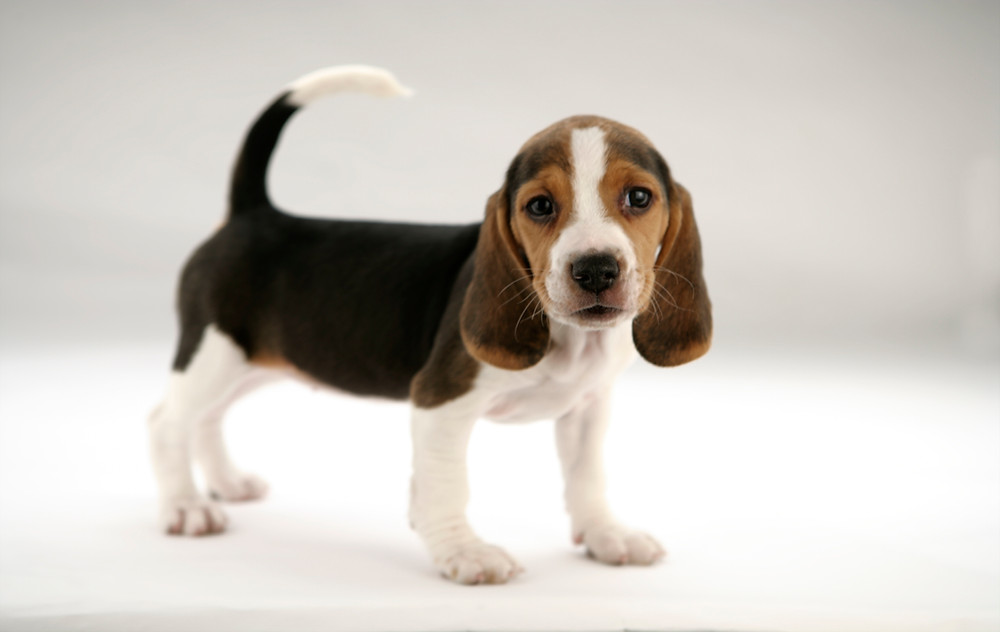 Beagle puppy - not the actual dog in the story.