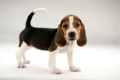 Puppy Primer & Puppy Pathways, Semester 1-2