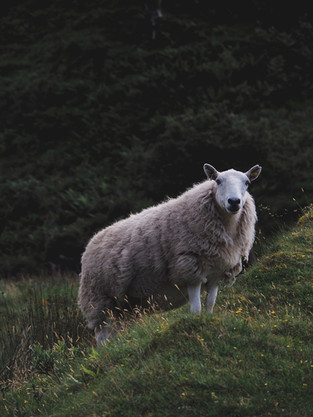 Sheep in Isle of Skye