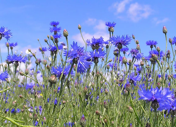 Cornflower Blue (piano solo)