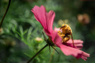 Cosmo & the Bee