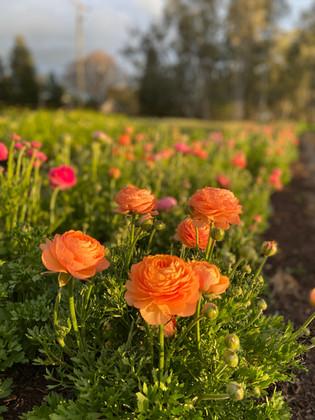 Ranunculus in field