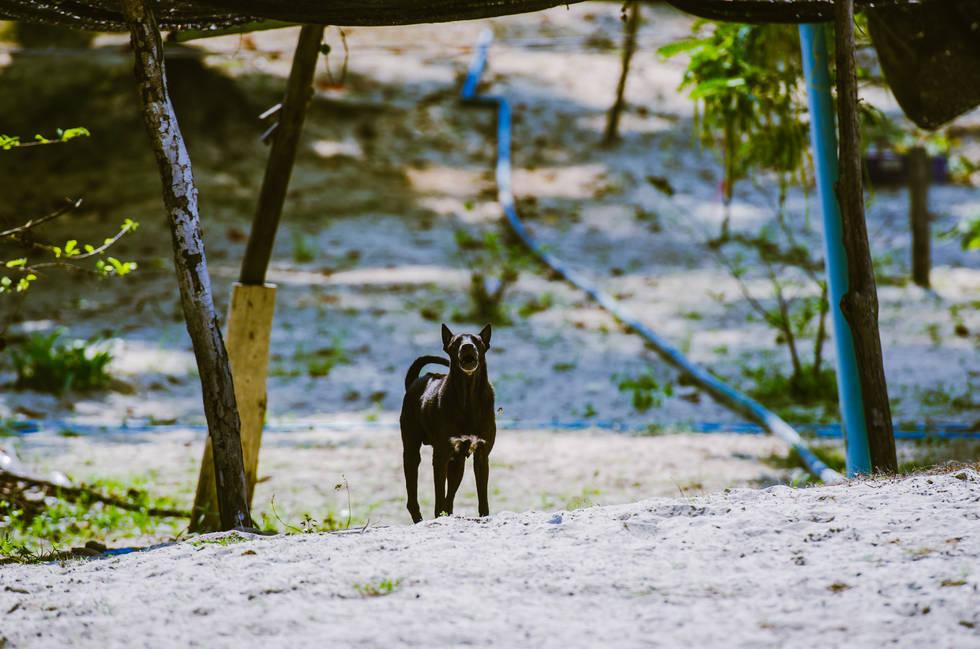 Koh-Samet Dog