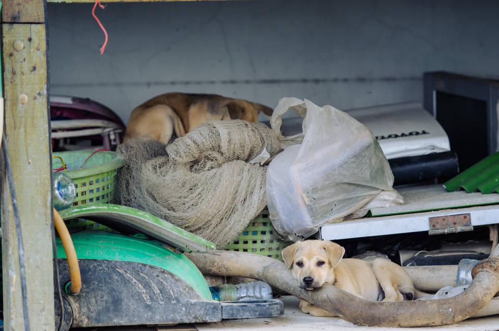Thai Pups