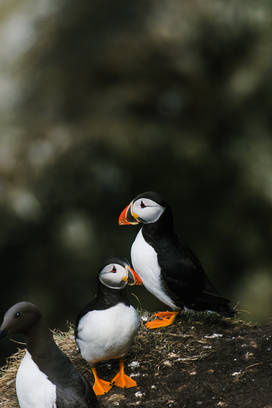 What's better than one puffin? 2!