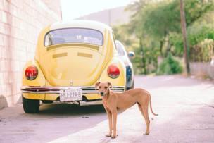 Beetle Pup