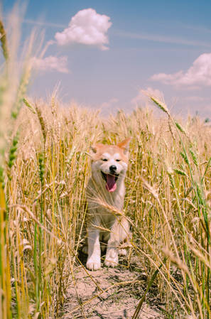 Puppy Edition Aus