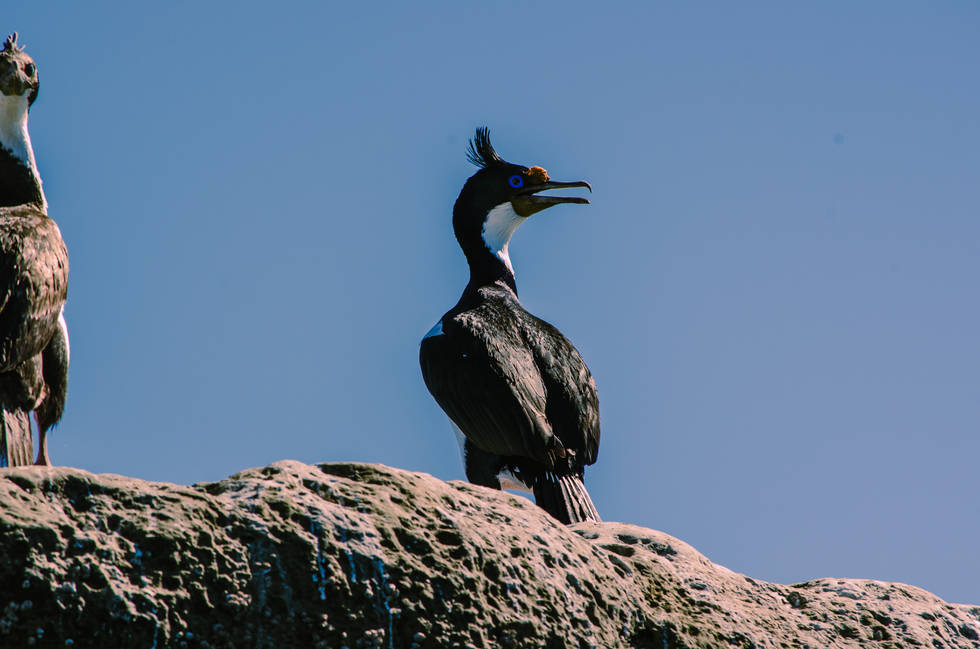 Cormorant In Puerto Madryn